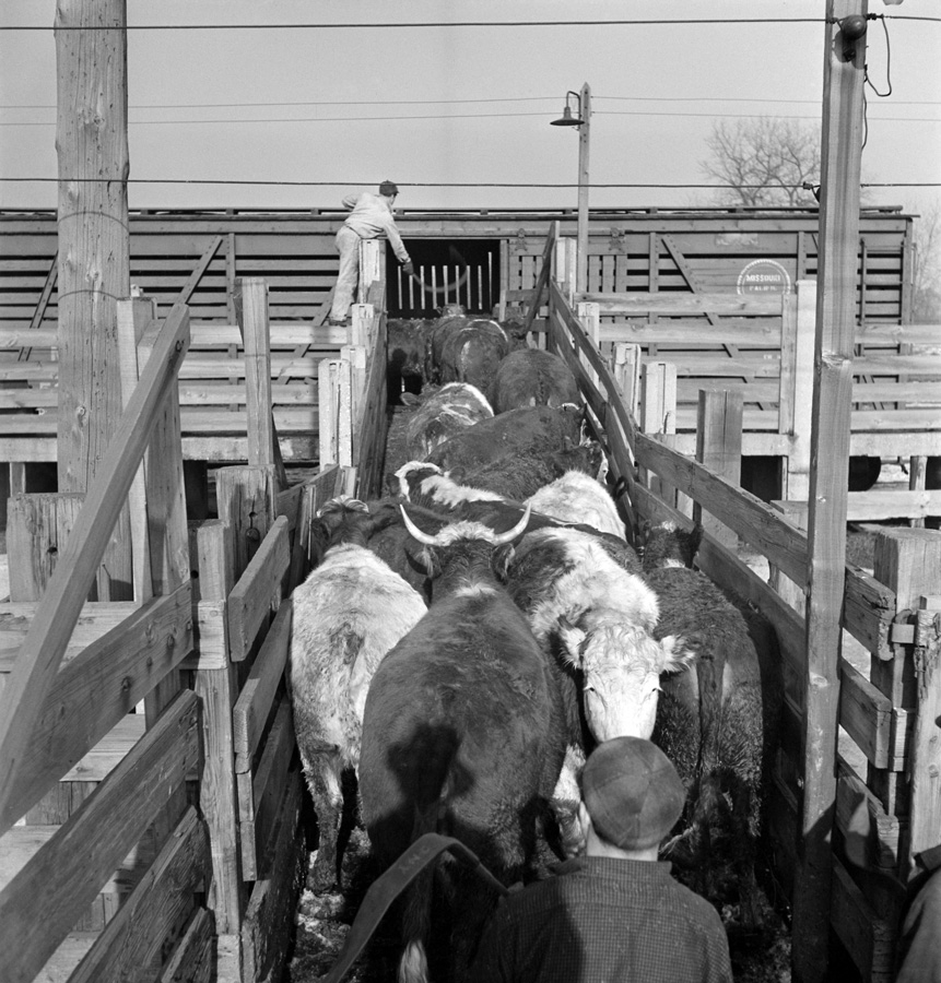 Loading Cattle on the Train