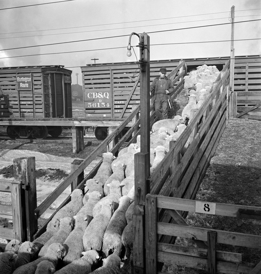 Loading Sheep on the Train